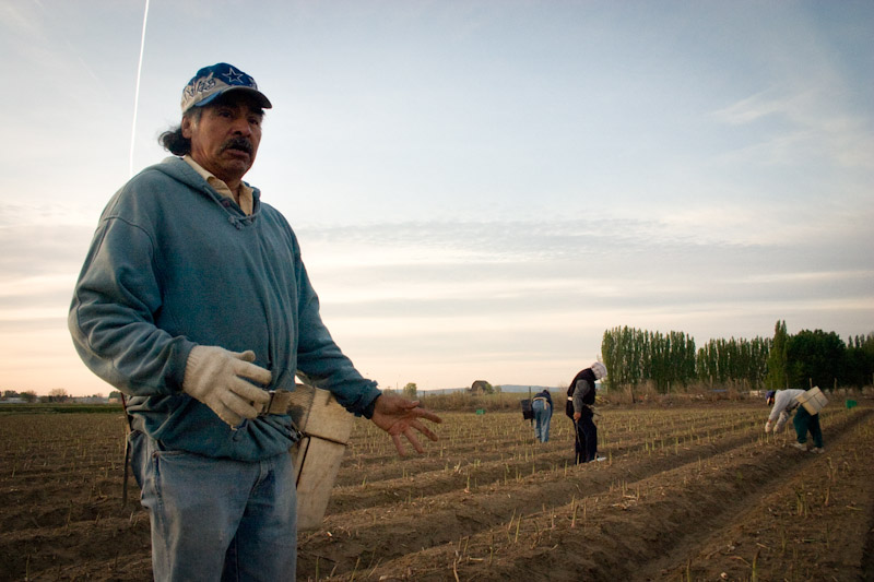 Farm laborers harvest asparagus in Eastern Washington. Many of the low-wage migrant laborers that harvest our fruits and vegetables depend on food stamp programs that are on the chopping block in the proposed version of the Farm Bill (Photo by Alex Stonehill)