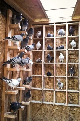 Homing pigeons are typically kept in special lofts. They establish a connection to particular place as babies and will return there instinctually from as far as 500 miles away. (Photo by Derrick Esquerra)