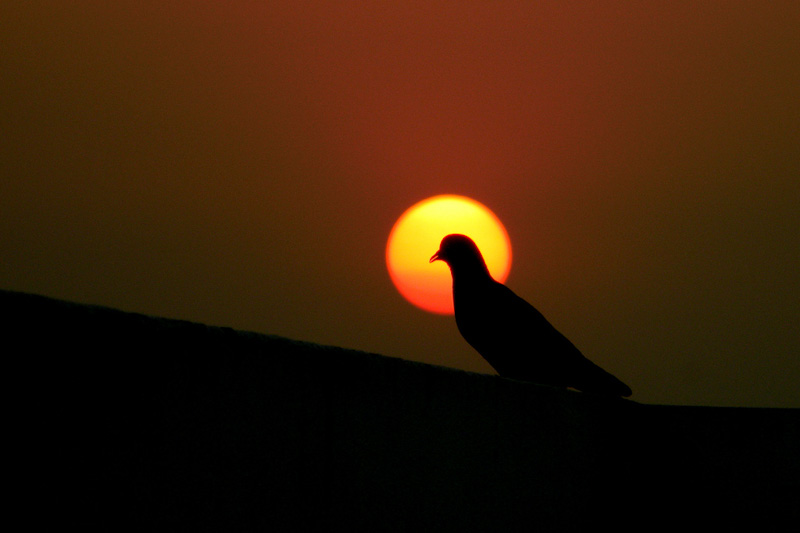 Hydrabad Pigeon by Raja Singh