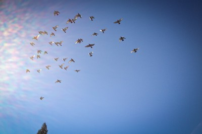Homing pigeons in the sky over Kent. They can fly 50mph non-stop for 6 to 8 hours. (Photo by George Dobre)