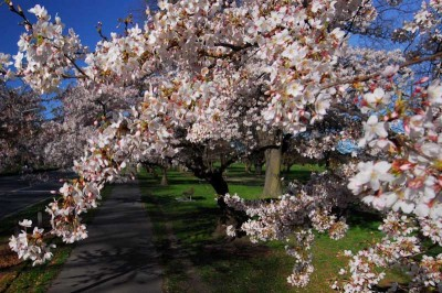 Cherry blossoms, like these in Hagley Park, are another familiar sight Seattleites will discover in Christchurch. (Photo courtesy Christchurch City Council)