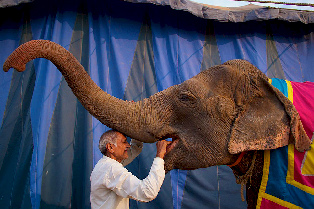 A man feeds an elephant outside the circus tent.