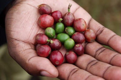 Cherries from a Coffee arabica plant, before the seeds are removed, dried and roasted. (Photo by Rodrigo via Flickr)