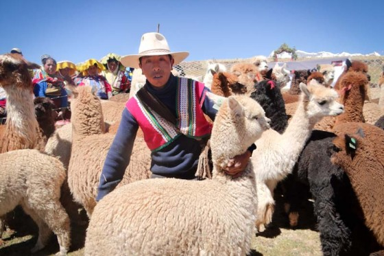 A Heifer International recipient, with alpacas, in Ocangate Upis, Peru. (Photo Katia Megarejo / Heifer Peru)