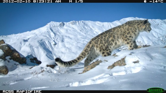 A leopard triggers a camera trap in the mountains near Spiti, India.(Photo by Rishi Sharma)