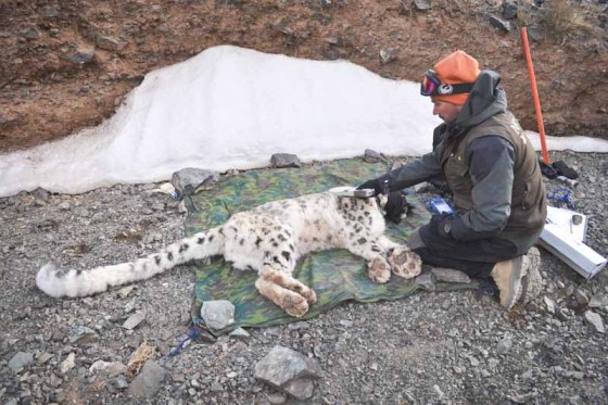 Orjan Johansson of the Snow Leopard Trust puts a GPS collar on a sedated cat in Mongolia. (Photo courtesy Snow Leopard Trust)