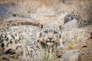 Zaraal, a snow leopard in the South Gobi desert of Mongolia. (Photo by Orjan Johansson)