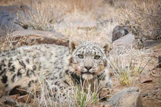 Zaraal, a snow leopard in the South Gobi desert of Mongolia. (Photo by Orjan Johansson)
