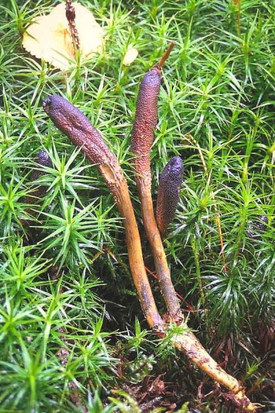 Cordyceps ophioglossoides also know as yartsa gunbu and Chinese caterpillar fungus grows out of the larvae of ghost moths buried in the soil. (Photo courtesy Daniel Winkler)