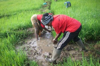 Members of the Camara Women's Collective at work farming rice before the flooding in February. (Photo courtesy Susan Partnow)