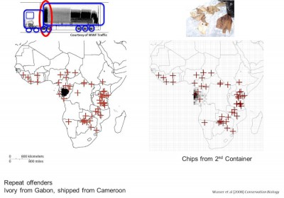 Geographic origin assignments of ivory from tusks seized in Hong Kong Seizure and chips remaining in a container discovered on its return to Cameroon traced both samples to forest elephant populations in Southeast Gabon. (Image courtesy UW CCB)