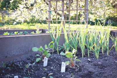 One of my two garden beds. The beets in the foreground will end up in a ruby red borscht and the sorrel behind it will serve as a key ingredient in a simple greens and potatoes soup.(Photo by Irina Vodonos)