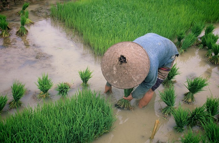 A woman tends to a rice paddy in Laos. (Photo by Naomi Deguid)