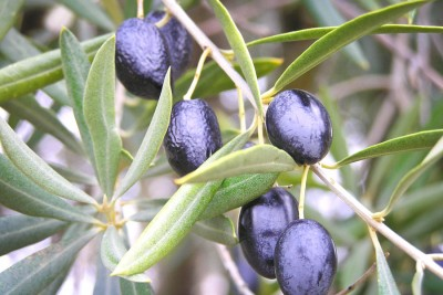 Black olives ripening in Spain (Photo from Wikipedia)