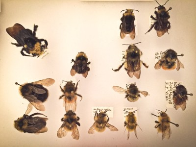 Native species of bees on display at a scientific illustration class hosted by Common Acre in March. (Courtesy photo)