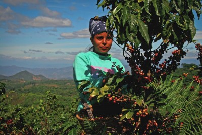 A woman picks coffee on the slopes of the Rainforest Alliance Certified cooperative Ciudad Barrios in El Salvador. Fair trade and other certifications work well, but innovators are looking at other ways to help coffee farmers avoid poverty. (Photo by Robert Goodier)