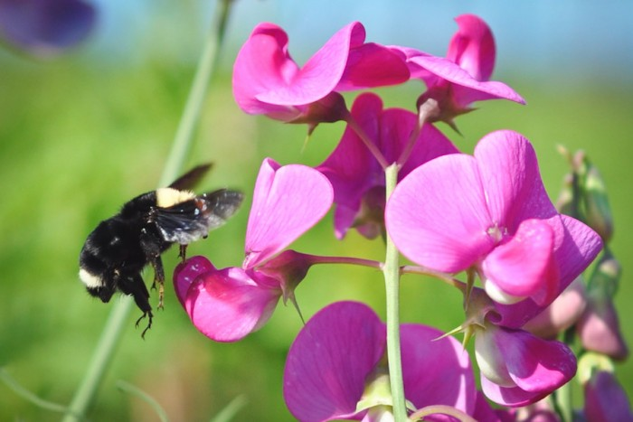 Bombus vosnesenskii (the yellow-faced bumble bee), on a wild pea plant, photographed by Common Acre volunteers surveying native bee habitats at the Sea-Tac airport last summer. (Courtesy photo)