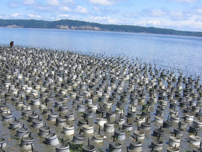 An example of a geoduck aquaculture plot. (Photo from Wikimedia Commons)