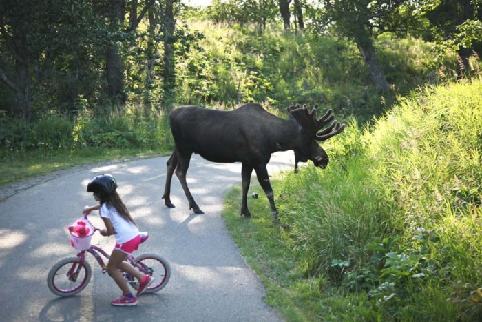 A moose on the bike trail in Kincaid Park, Anchorage.  The small city of about 300,000 people defies expectation as one of the most diverse in the nation, driven by large populations of immigrants and refugees, as well as Native Americans.  (Photo by Alex Stonehill.)