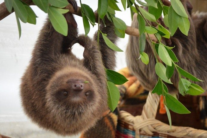 A sloth in recovery at the Aiuniu Rehabilitation Center in Medellin, Colombia, getting ready to return to the wild. (Courtesy photo)