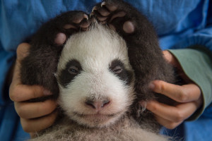 Getting pandas to mate in capitvity, and then releasing babies that will thrive in the wild isn't easy, Vitale found out. (Courtesy photo by Ami Vitale)